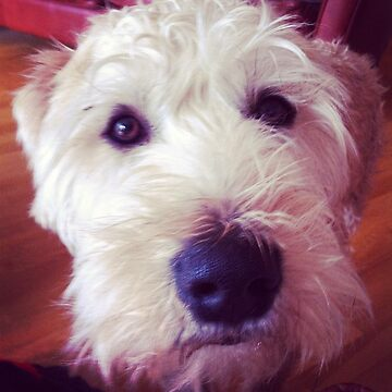 Harry, Wheaten Terrier #2 by dav956able