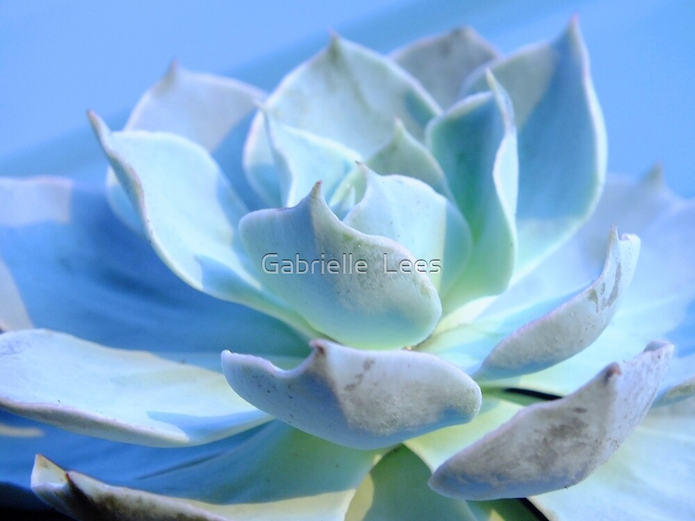 Echeveria Canadian by Gabrielle  Lees