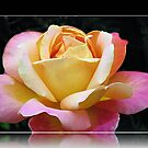 A Rose of Many Colours von BlueMoonRose