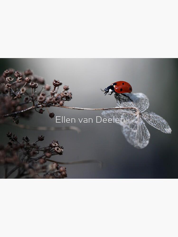 Ladybird on old hydrangea  by Ellen