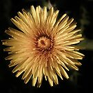 YELLOW DANDELION FLOWER by Richard Brookes