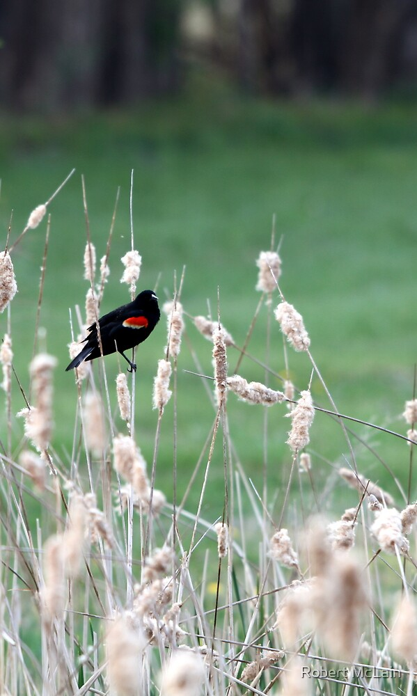 Red-winged Blackbird on cattails by Robert McLain