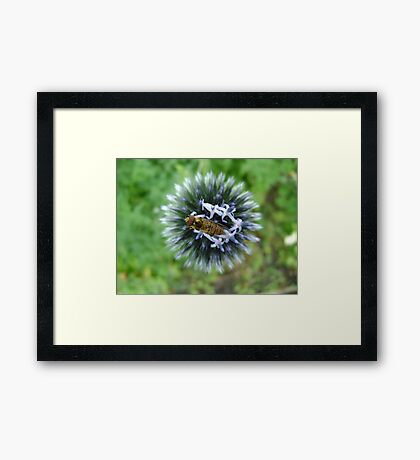 Whizz! Hoverfly on blossom. Framed Print