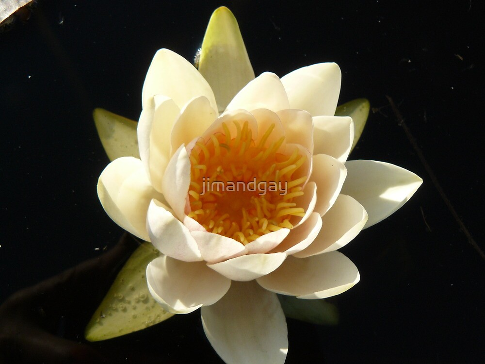 first water lily of the season by jimandgay