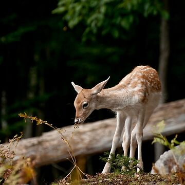 Fallowdeer - Parc Omega, Montebello, PQ by Destined2see