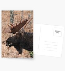 Bull moose - Algonquin Park, Ontario Postcards