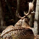 Fallow deer - Parc Omega, Montebello, PQ by Tracey  Dryka