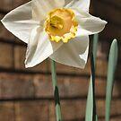 Daffodill by Marlene Piccolin