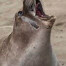 Juvenile Northern Elephant Seal, Mirounga angustirostris by Eyal Nahmias
