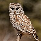 Barred Owl - Brighton, Ontario by Tracey  Dryka