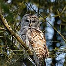 Barred Owl ( Strix varia)- Brighton, Ontario by Tracey  Dryka