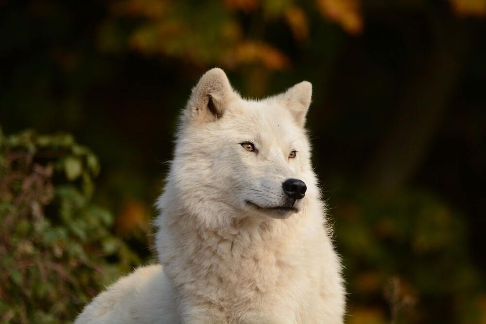 Arctic Wolf by NAmelotte