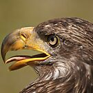 Juvenile Bald Eagle by Tracey  Dryka