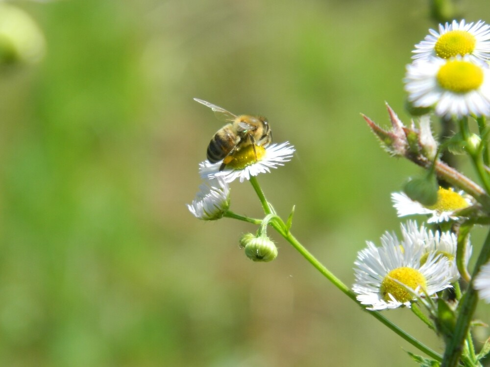 Bee on a white flower by Amy-sCorner