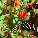 Zebra Longwing Butterfly by K D Graves Photography