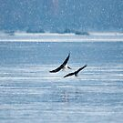 Bald Eagles by Crystal Wightman