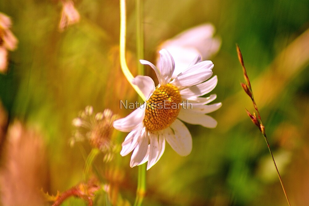 Wild Flower by NaturesEarth