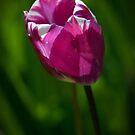 Puckering Tulip by toby snelgrove  IPA