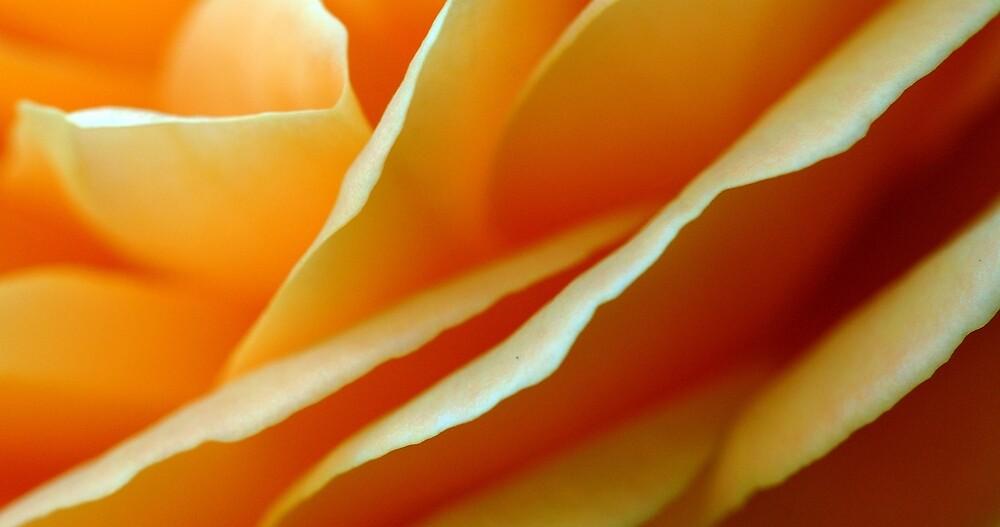 Peachy Rose in my Peebles garden by rosie320d
