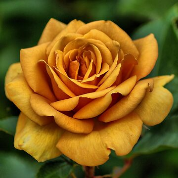 Golden Rose For Mother's Day by SandraCockayne