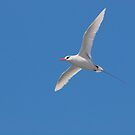 Red-Tailed Tropicbird by Jimson Carr
