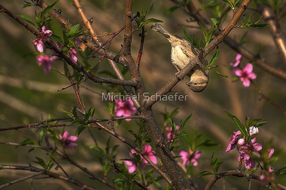 Sparrow in Tree by Michael Schaefer