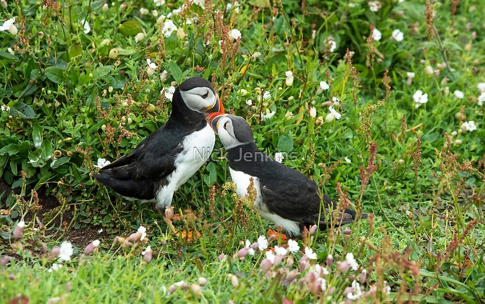 Puffins having a kiss by Nick Jenkins