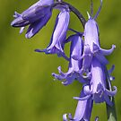 Bluebells by ChromaticTouch