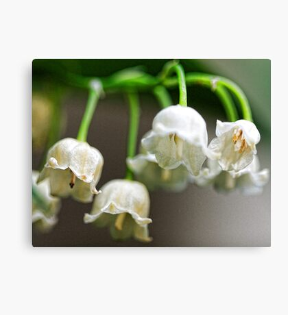 Lily-of-The-Valley - Bridgton,  Maine Canvas Print