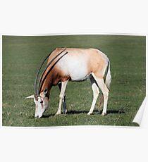 Scimitar horned oryx  Poster