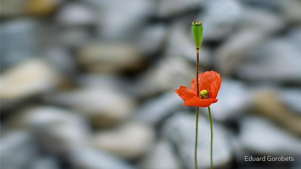 Poppy by Eduard Gorobets