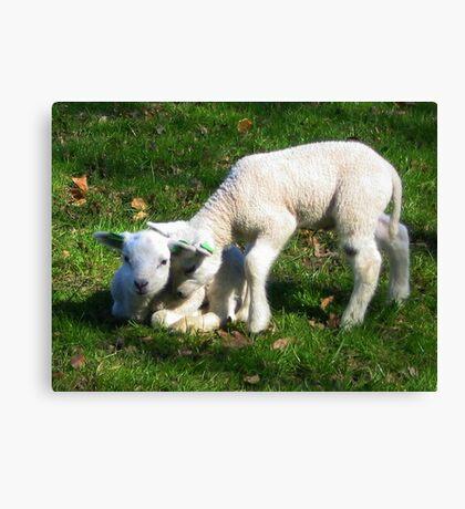 Two little Lamb Canvas Print