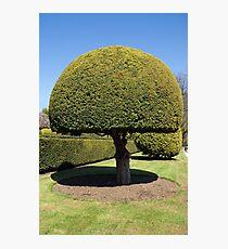 Topiary tree Photographic Print