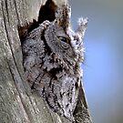 Screech In Grey Phase / Eastern Screech-Owl by Gary Fairhead