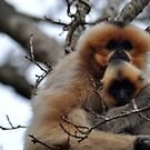 Gibbon Mummy Love by ApeArt