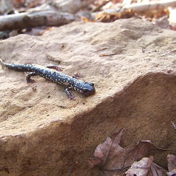 Speckled Newt by daltval