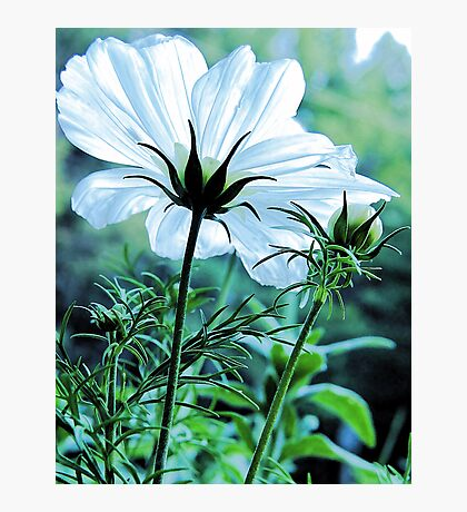 Cosmos - First To Flower --- Bridgton,  Maine Photographic Print