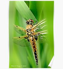 Newly emerged  Four-Spotted Chaser libellula quadrimaculata. Poster