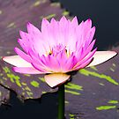 Pink Water Lily by Crystal Wightman