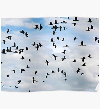 White-faced Ibis ~ Flock Poster