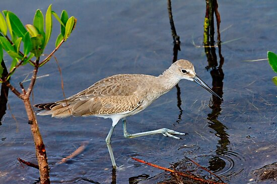 Willet Hunting on Sanibel by bengraham