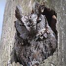 An Eastern Screech-Owl  by DigitallyStill