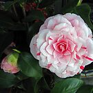 Camellia japonica by jules572