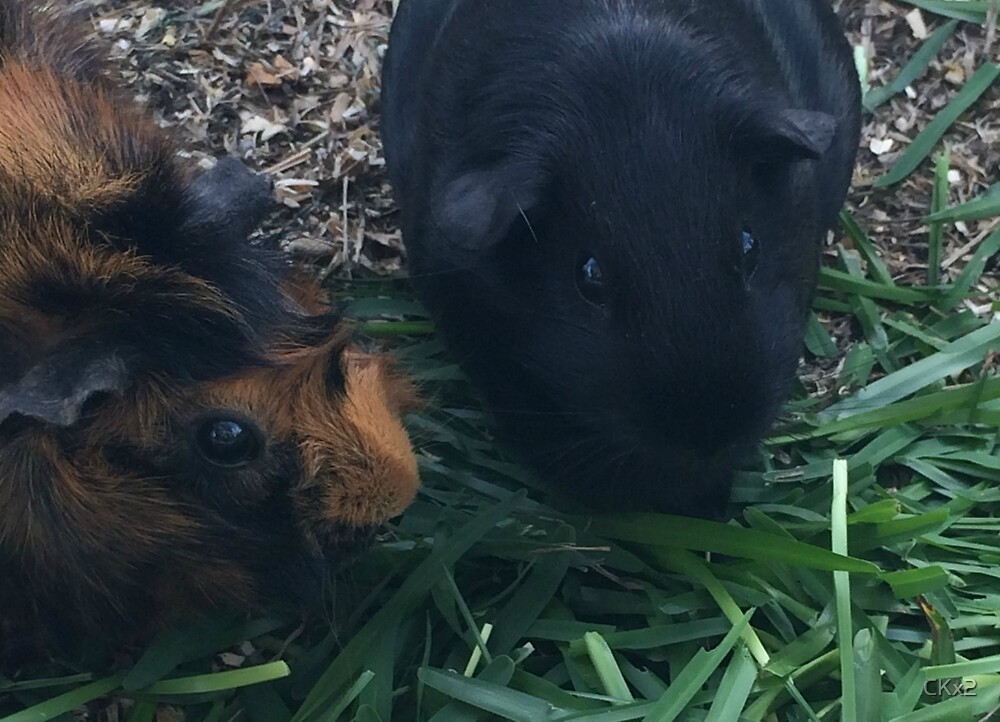 Outside Guinea Pig Play by CKx2