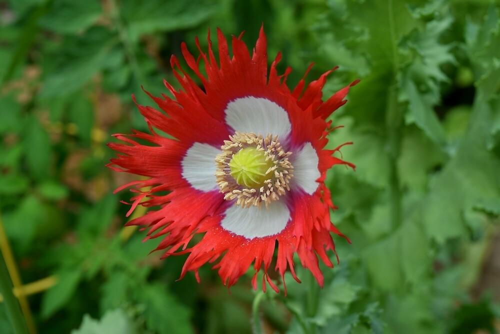 Fringed poppy by theyellowwood