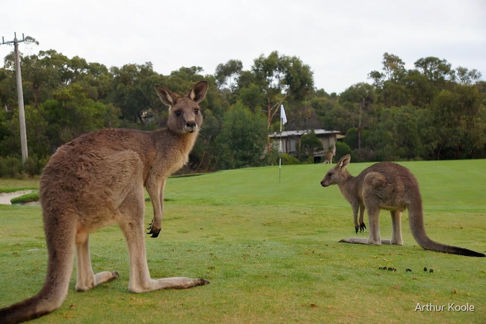 Golfing Roo's by Arthur Koole