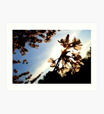 Cherry Blossoms    Nature Art Print