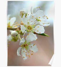 Plum Blossoms Close Up Poster