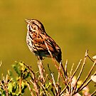 Little Sparrow by Nancy Stafford