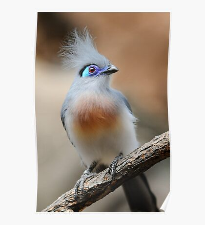 CRESTED COUA Poster